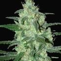 Thunder Bloody Mary Automatic (Samsara Seeds) feminizada