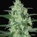 Thunder Bloody Mary Automatic (Samsara Seeds) feminizada