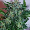 Flash Babylon (Samsara Seeds) feminizada