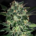 Domina Star (World Of Seeds) feminizada