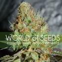 Afghan Kush Special (World Of Seeds) feminizada