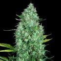 Serious 6 (Serious Seeds) feminizada