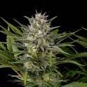 Pineapple Skunk (Humboldt Seeds) feminizada