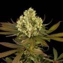Sour Blueberry (Humboldt Seeds) feminizada