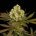 Sour Blueberry (Humboldt Seeds) feminizada