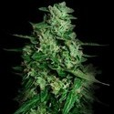 Northern Delights Auto (VIP Seeds) feminizada