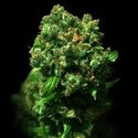 Cheese (VIP Seeds) feminizada