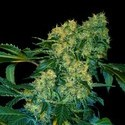 Chingis Khan (VIP Seeds) feminizada