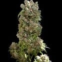 White Spanish (VIP Seeds) feminizada
