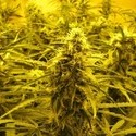 Channel + (Medical Seeds) feminizada