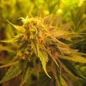 Devil Fruit (Medical Seeds) feminizada