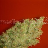 Jack La Mota (Medical Seeds) feminizada