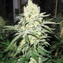 No Name (Medical Seeds) feminizada