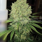 Prozack (Medical Seeds) feminizada