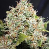 BCN Sour Diesel (Medical Seeds) feminizada