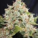 BCN Sour Diesel (Medical Seeds) feminizada