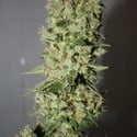 Sour Diesel (Medical Seeds) feminizada