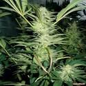 White Widow (Medical Seeds) feminizada