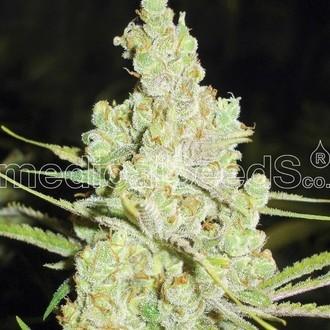 1024 (Medical Seeds) feminizada