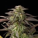 Blue Cheese (Dinafem) feminizada