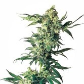 Northern Lights (Sensi Seeds) feminizada