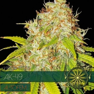AK-49 Autoflowering (Vision Seeds) feminizada