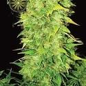 White Widow Autoflowering (Vision Seeds) feminizada