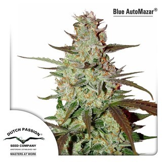 Blue Auto Mazar (Dutch Passion) feminizada