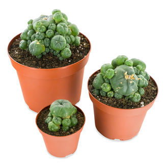 Peyote con Pups (Lophophora williamsii)