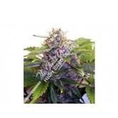 Purple Ryder (Joint Doctor) feminizada