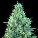 Motavation (Serious Seeds)
