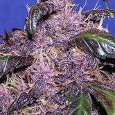 Auto Purple (Original Sensible Seeds) feminizada