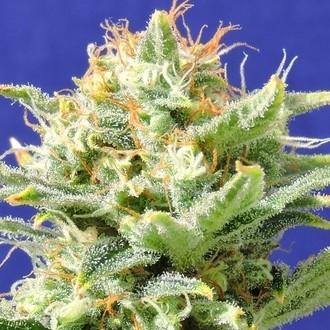 Auto Skunk (Original Sensible Seeds) feminizada