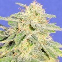 Auto JH (Original Sensible Seeds) feminizada