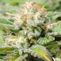 Auto Black JH (Original Sensible Seeds) feminizada