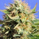 Chronic Lights (Original Sensible Seeds) feminizada