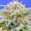 Black Gum (Original Sensible Seeds) feminizada
