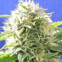Black Destroyer (Original Sensible Seeds) feminizada