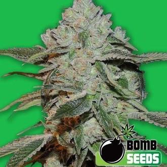 Atomic (Bomb Seeds) feminizada