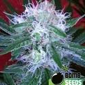 Auto Bomb (Bomb Seeds) feminizada