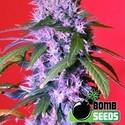 Berry Bomb (Bomb Seeds) feminizada