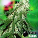 Buzz Bomb (Bomb Seeds) feminized
