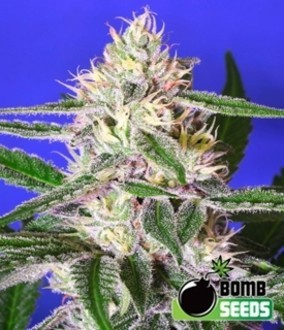 Cheese Bomb (Bomb Seeds) feminizada