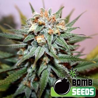 Hash Bomb (Bomb Seeds) feminizada