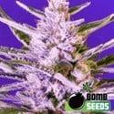 Ice Bomb (Bomb Seeds) feminizada