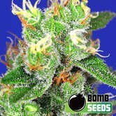 Medi Bomb 2 (Bomb Seeds) feminizada