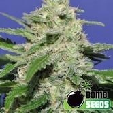 Widow Bomb (Bomb Seeds) feminizada