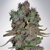 Auto Blueberry Domina (Ministry of Cannabis) feminizada