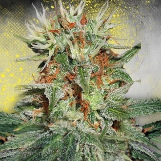 Auto Mary Jane (Ministry of Cannabis) feminizada