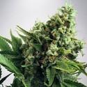 Auto White Widow (Ministry of Cannabis) feminizada